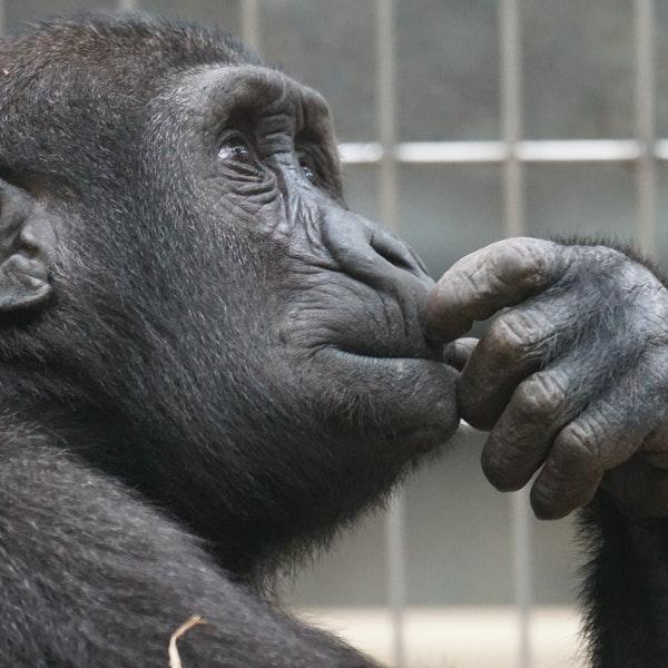 view-ape-thinking-primate-33535